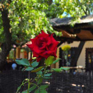 Фото розы во дворе базы отдыха Затоки
